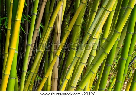 Bamboo stems at sunset, diagonal composition.