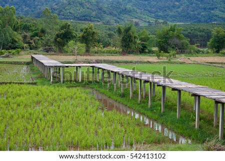 Bamboo walkway with rice plant