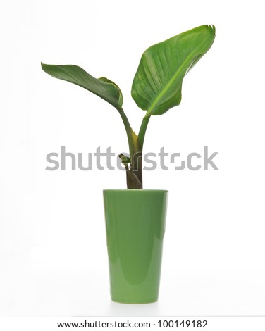 Banana (bird of paradise) plant in a pot