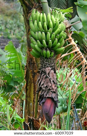 Banana flower and bunch, Canaries - stock photo