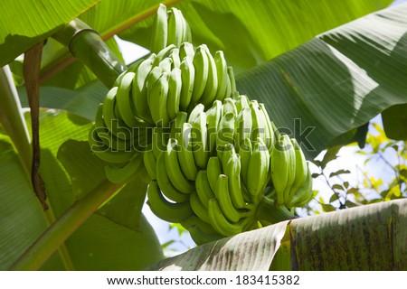 banana fruits on a tree - stock photo
