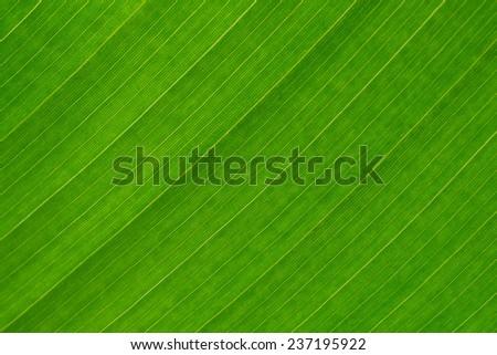 Banana leaf - stock photo