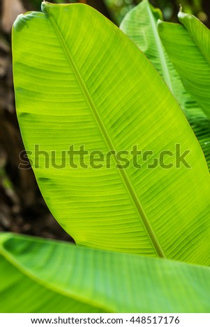 Banana leaf background in nature, Thailand - stock photo