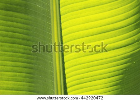Banana leaf from natural is backgrounds - stock photo