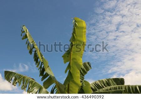 Banana leaf on blue sky and cloud background  - stock photo