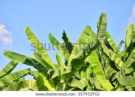 Banana leaf on blue sky background - stock photo