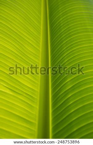 banana leaf texture - stock photo