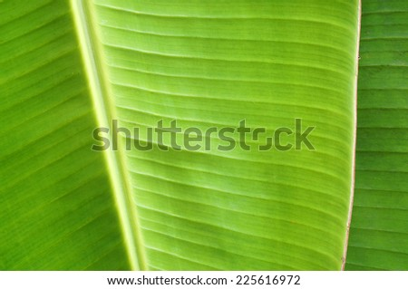 banana leaf texture background - stock photo