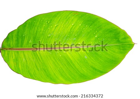 banana leaf with water drops isolated with clipping path  - stock photo