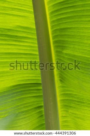 Banana Leave pattern background - stock photo
