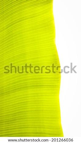 Banana leaves on white background. - stock photo