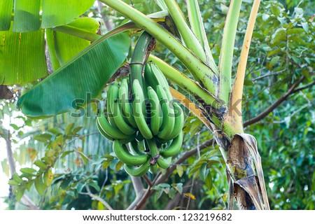 Banana plantation - stock photo