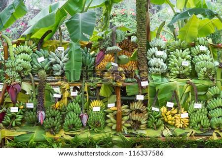 Banana species. - stock photo