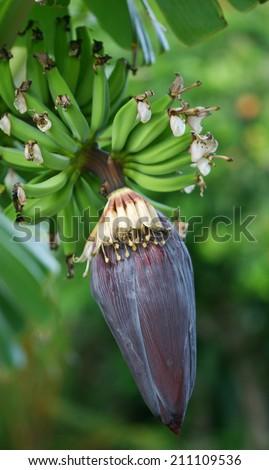 Banana tree flower with green bananas - stock photo
