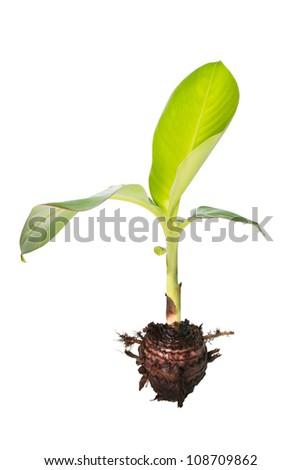Banana tree isolated on white background - stock photo