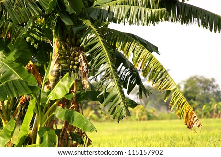 Banana tree on field. - stock photo
