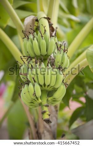 Banana tree with a bunch of bananas - stock photo