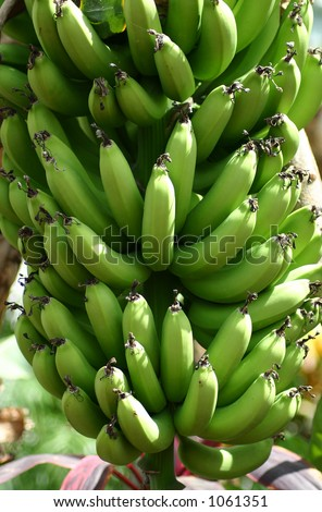 Bananas growing on banana tree - stock photo