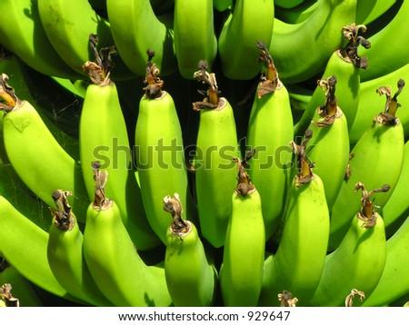 Bananas growing on the tree - stock photo