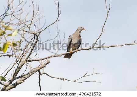 Band tailed pigeon perched on treetop, Vancouver Canada
