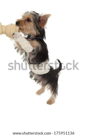 Bandaged yorkshire terrier puppy on a bone on white background