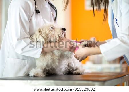 Bandaging Maltese's hurt paw by veterinarian in vet clinic  - stock photo