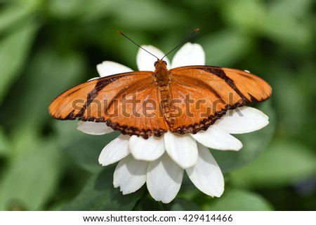Banded Orange butterfly, basking on a white flower, dryadula phaetusa, range is from Mexico to Brazil  - stock photo