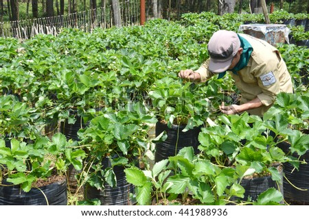 BANDUNG, INDONESIA. 28th March 2014.cultivation of strawberries at Cikole tourist area