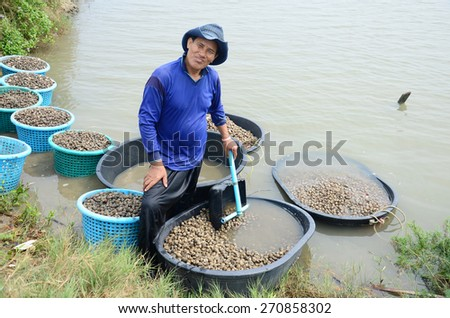 BANGKOK, THAILAND - APRIL 12 :Thai people aquaculture cockle farm and catching for sale at Bangkhunthein on April 12, 2015 in Bangkok Thailand. - stock photo