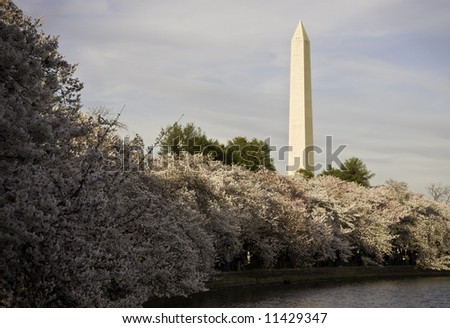 Bank of glorious cherry blossoms underpinning the Washington Monument - stock photo