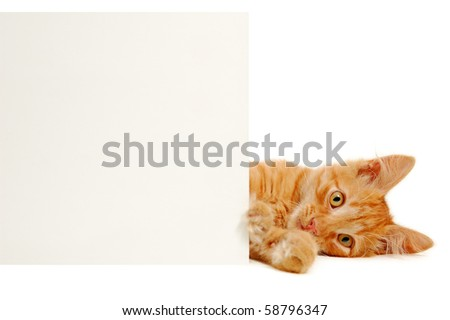 banner in kitten's paws isolated on white background - stock photo