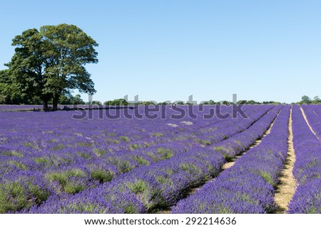 BANSTEAD, SURREY UK - JUNE 30 : People enjoying a Lavender field in Banstead Surrey on June 30, 2015. Unidentified people