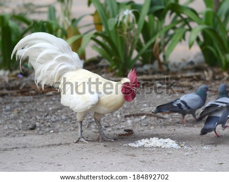 Bantam White , white cock - stock photo