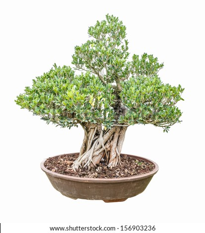 banyan fig tree as bonsai isolated on white background - stock photo