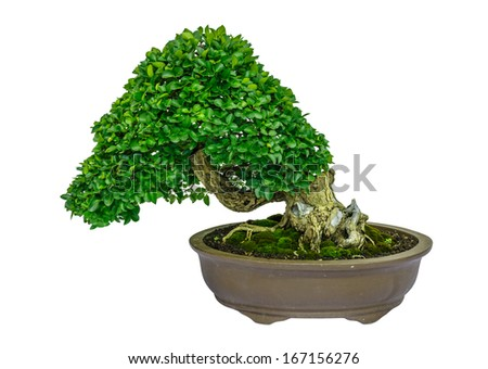 banyan fig tree as bonsai isolated on white background - stock photo