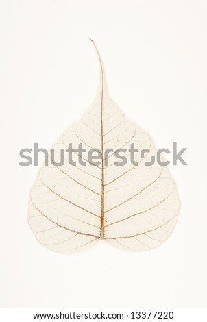 banyan tree leaf venation (bodhi tree) - stock photo