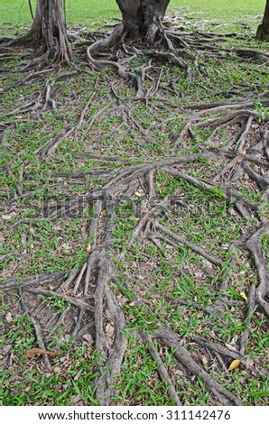 banyan tree root for background