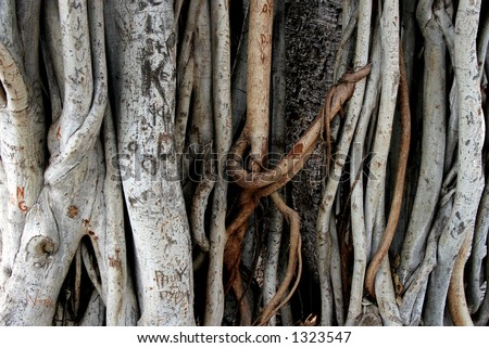 Banyan tree roots. - stock photo