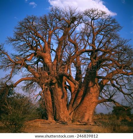 Baobab - stock photo