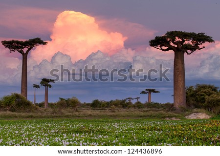 Baobab Alley, Madagascar pink sunset - stock photo
