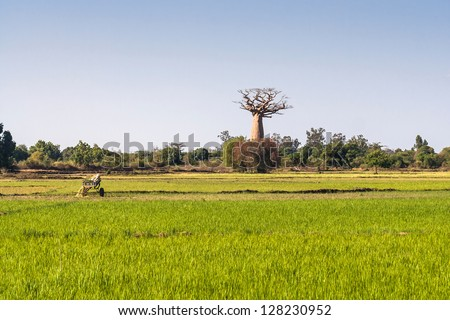 Baobab and rice field in the south west of Madagascar - stock photo