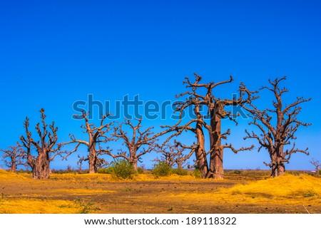 Baobab in Senegal, Africa - stock photo