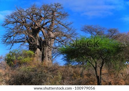 Baobab or boab, boaboa, bottle tree, upside-down tree, and monkey bread tree Tarangire National Park is the sixth largest national park in Tanzania after Ruaha, Serengeti, Mikumi, Katavi and Mkomazi . - stock photo