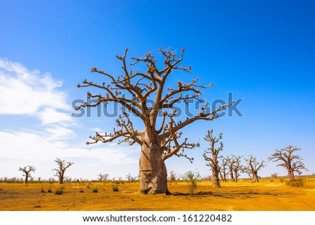 Baobab tree (Adansonia) - stock photo