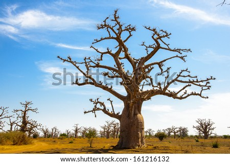 Baobab tree in the shadow - stock photo