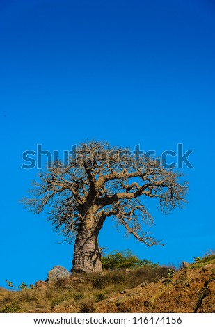 Baobab tree on the hill - stock photo