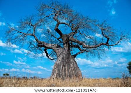 Baobab Tree, Ruaha National Park, Tanzania. - stock photo