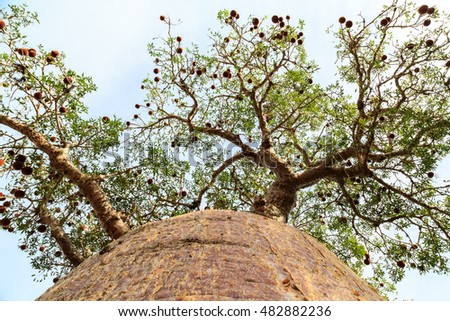 Baobab tree seen from below at the trunk looking up to the branches