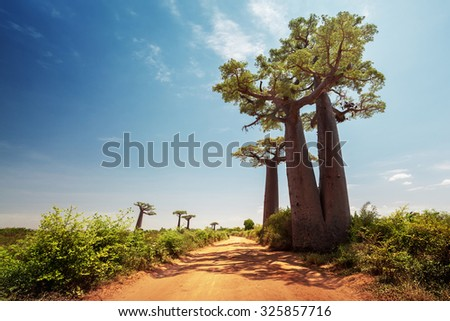 Baobab trees along the unpaved red road at sunny hot day. Madagascar - stock photo