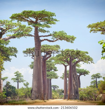 Baobab trees and rural road at sunny day. Madagascar - stock photo